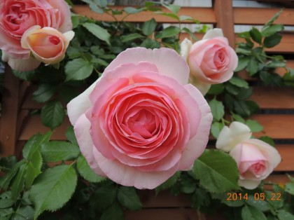 ピエールドゥロンサールが開花4