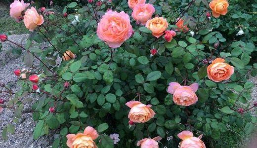 レディエマハミルトンが開花!花持ちは?香りは?