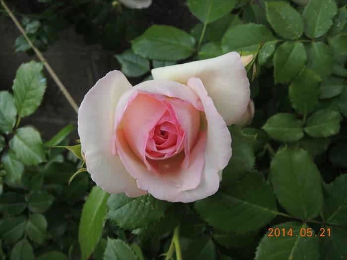 ピエールドゥロンサールが開花1