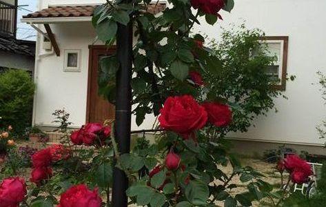 ルージュピエールドゥロンサールが開花!花持ちは?香りは?