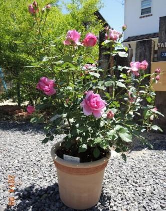 ローズポンパドゥール鉢植え3