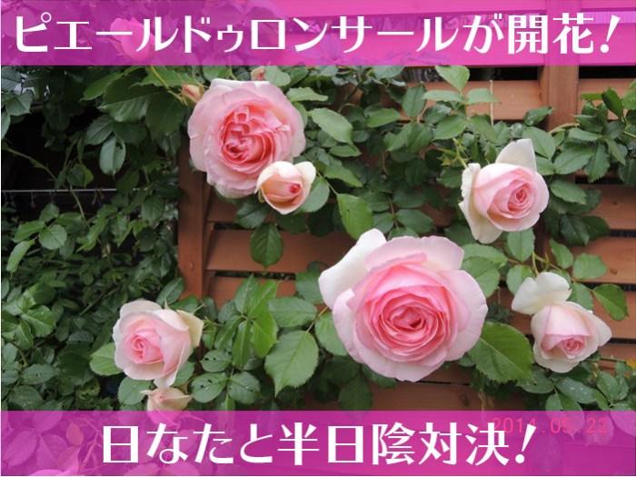 ピエールドゥロンサールが開花!日なたと半日陰対決!-01