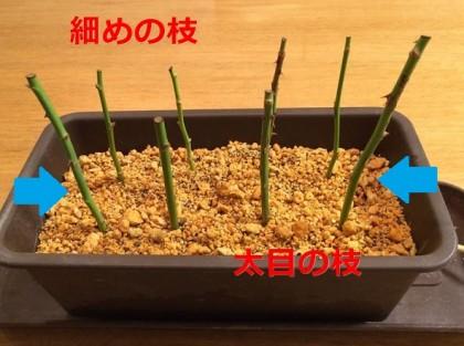 バラの挿し木(冬)細めと太めの枝
