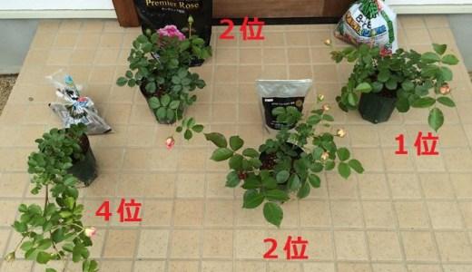 バラの肥料対決その2!手作りVS有機VS化成!