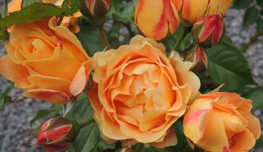 ラドルチェヴィータが開花!香りは?花持ちは?