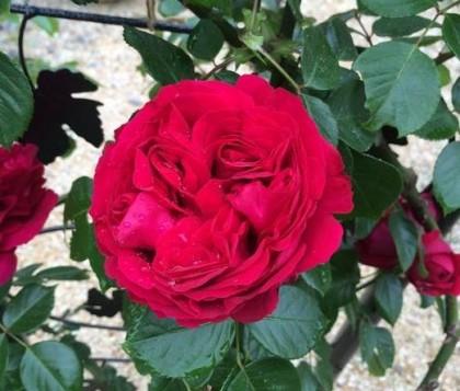 ルージュピエールドゥロンサールの開花4