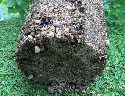 クレアオースチンの根鉢