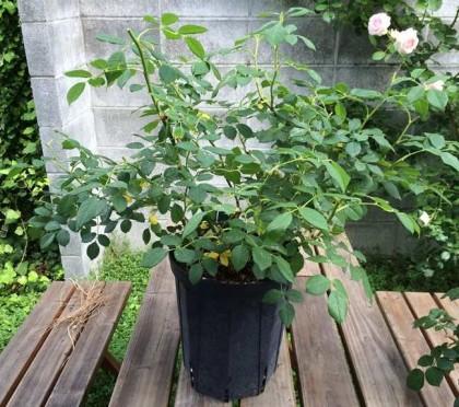 植え替え前のバラ