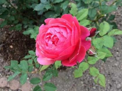 バラが咲いてくれた