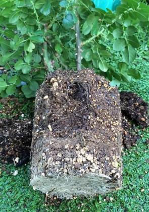 レッドレオナルドダヴィンチの根鉢1