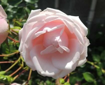ニュードーンの咲く様子3