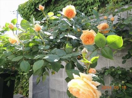 クラウンプリンセスマルガリータが咲いた1