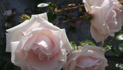 ニュードーンが開花!花持ちは?半日陰ではどうだった?