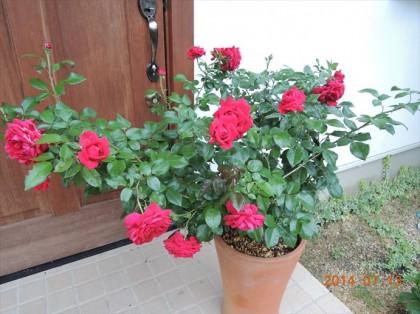 リパブリックドゥモンマルトルの二番花全体2