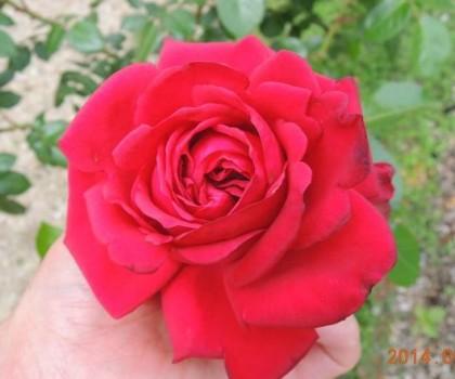 リパブリックドゥモンマルトルの一番花1