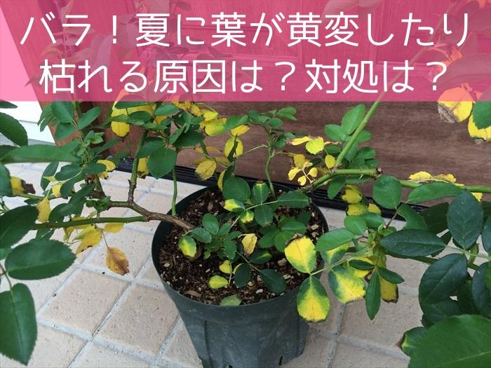 バラ!夏に葉が黄変したり枯れる原因は?対処は?