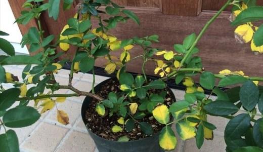 バラ!夏に葉が黄変したり枯れる原因は?対処はどうする?