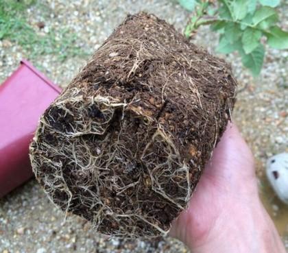 ゆうぜんの根鉢1