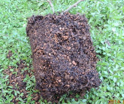 手作り油肥の根鉢1