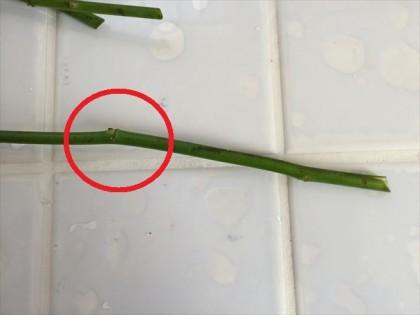 挿し穂を切る
