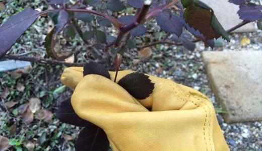 バラの冬の剪定!葉が残っている時はどうするの?