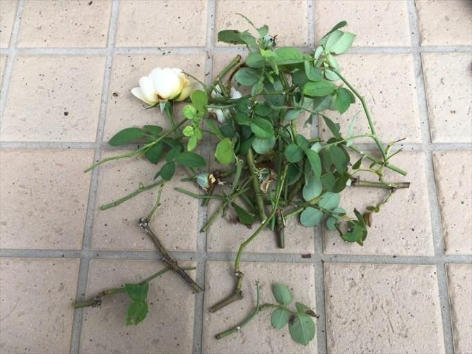 夏バテ気味なバラ剪定した枝