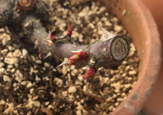 リパブリックドゥモンマルトルから芽が出た