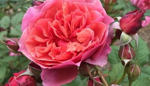 ラデュレの開花!樹形は?香りや花もちはどう?
