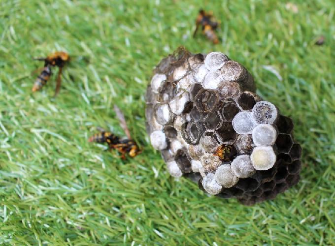 駆除したアシナガバチの巣