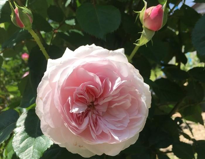 オリビアローズオースチンが開花4