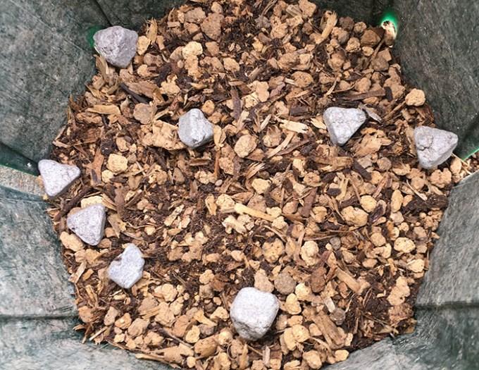 5号ローズポンパバイオゴールド鉢増しの鉢底