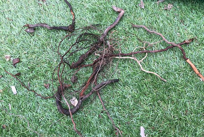 1掘り起こしたバラの根っこ