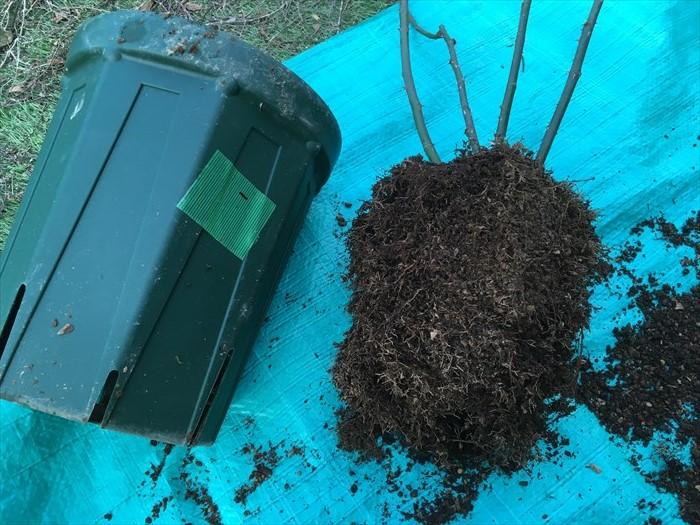 ルージュ:バイオゴールドの根鉢を崩してみた