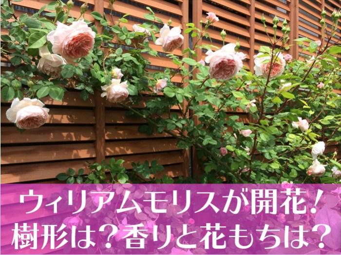 ウィリアム・モリスが開花!樹形は?香りと花もちは?