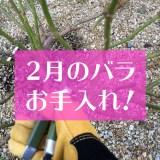 2月のバラの手入れ方法アイキャッチ-01