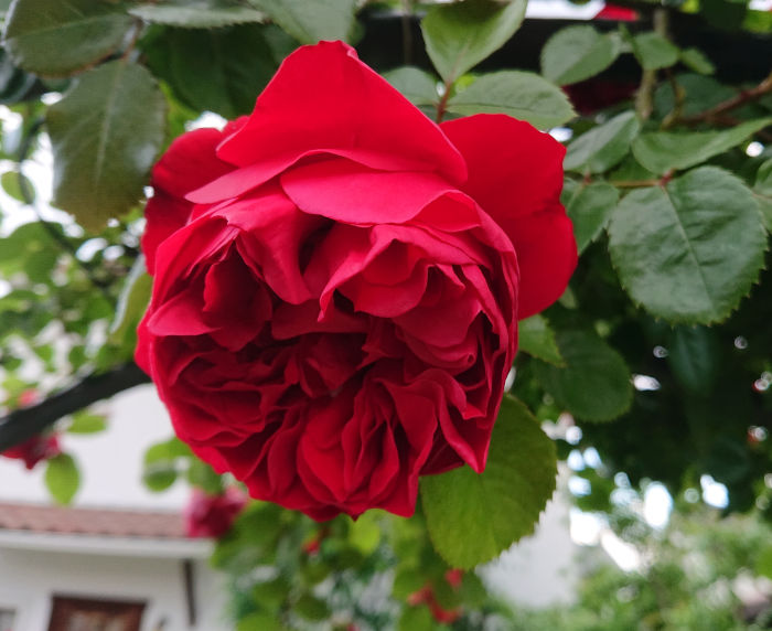 フロレンティーナが開花2