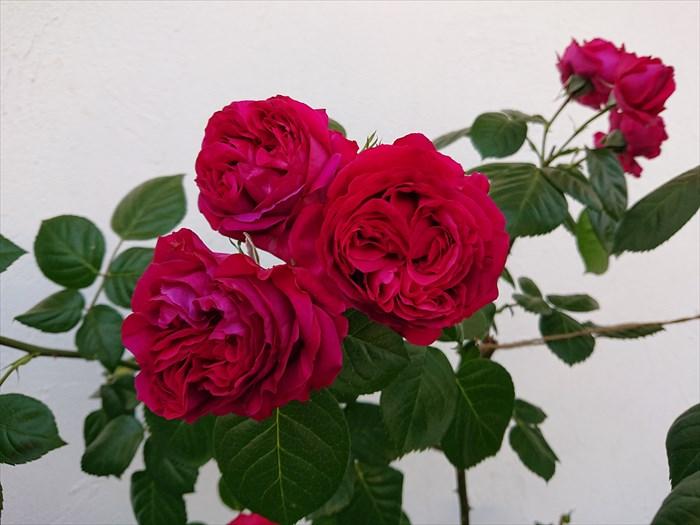 ルージュピエールドゥロンサールの花