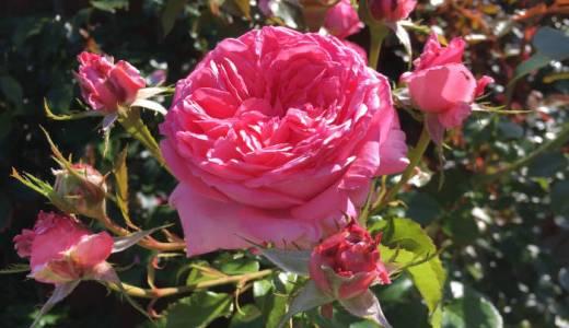 ラ・ローズ・ドゥ・モリナールが開花!花持ちや香りは?