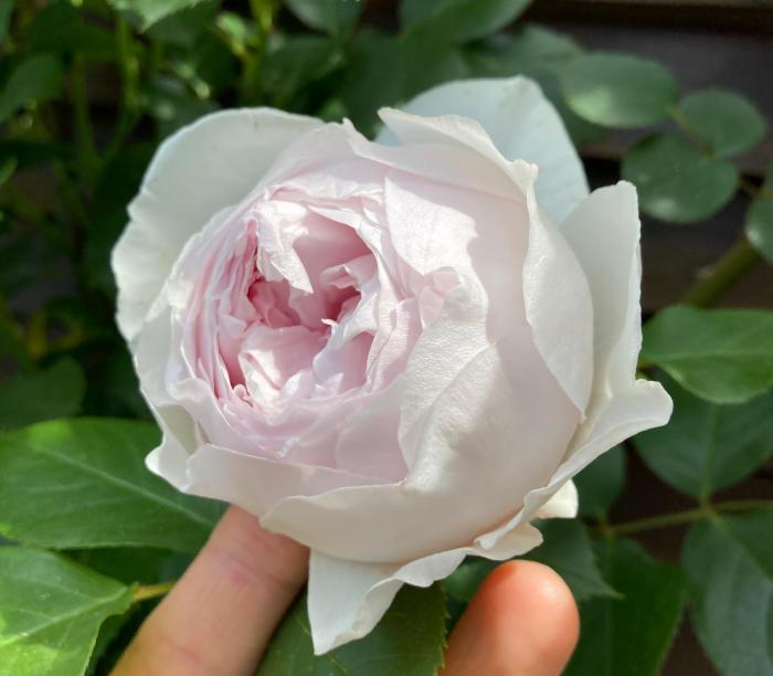 クリスティアーナの開花3