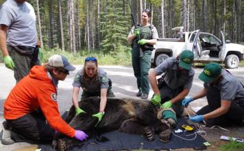 Grizzly Bear Hit Car Alberta Parks Banff