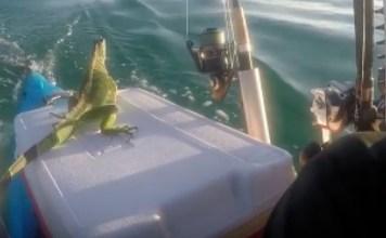Kayaker Saves Iguana Florida