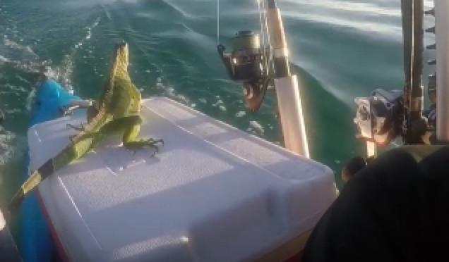 Kayaker Saves Iguana Florida