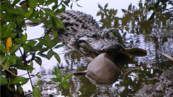 Alligators eat sharks and stingrays