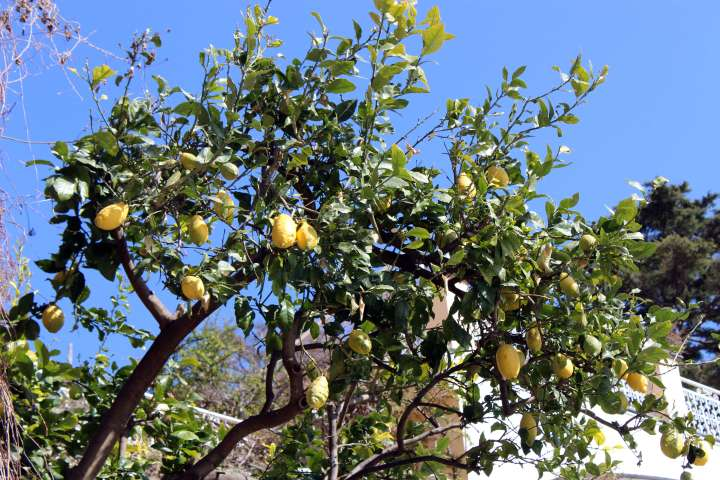 Love Affair with Positano - Lemon Tree