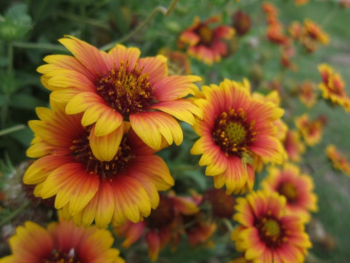 Drought resistant perennial: Blanket Flower