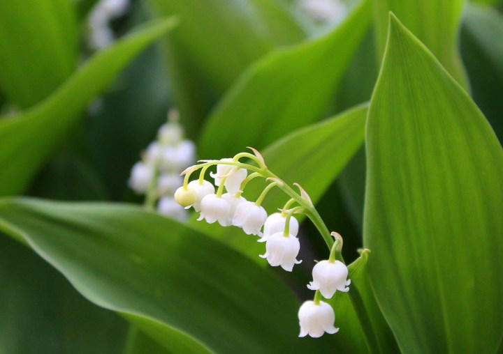 White Lily-of-the-Valley, a drought-tolerant ground cover