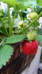 strawberries are popping up!