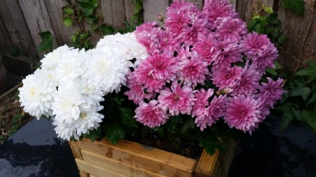 chrysanthemums are blooming