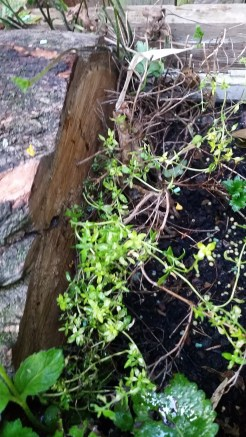 my poor thyme in the herb patch had a log placed on top of it