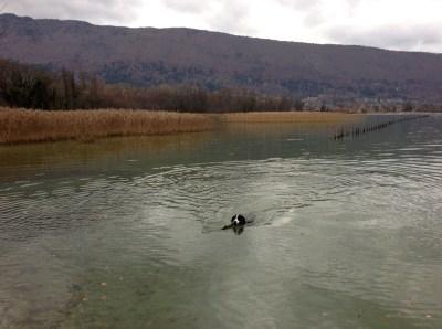 gracie faisant trempette dans le lac d'Annecy - novembre 2012